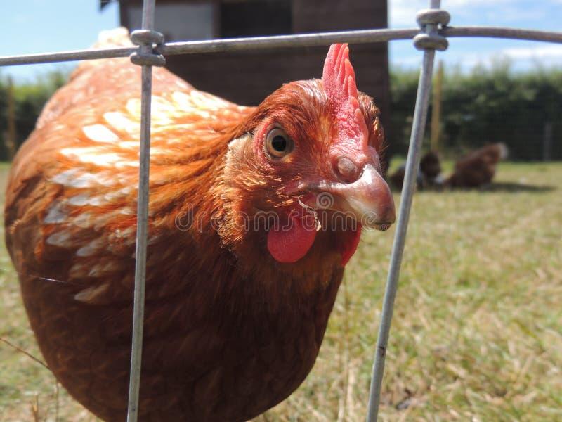 pollo immagini stock libere da diritti