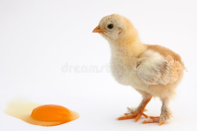 Pollo immagini stock