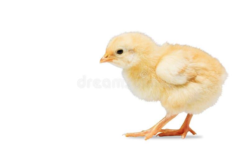 Pollo amarillo recién nacido en el fondo blanco fotos de archivo