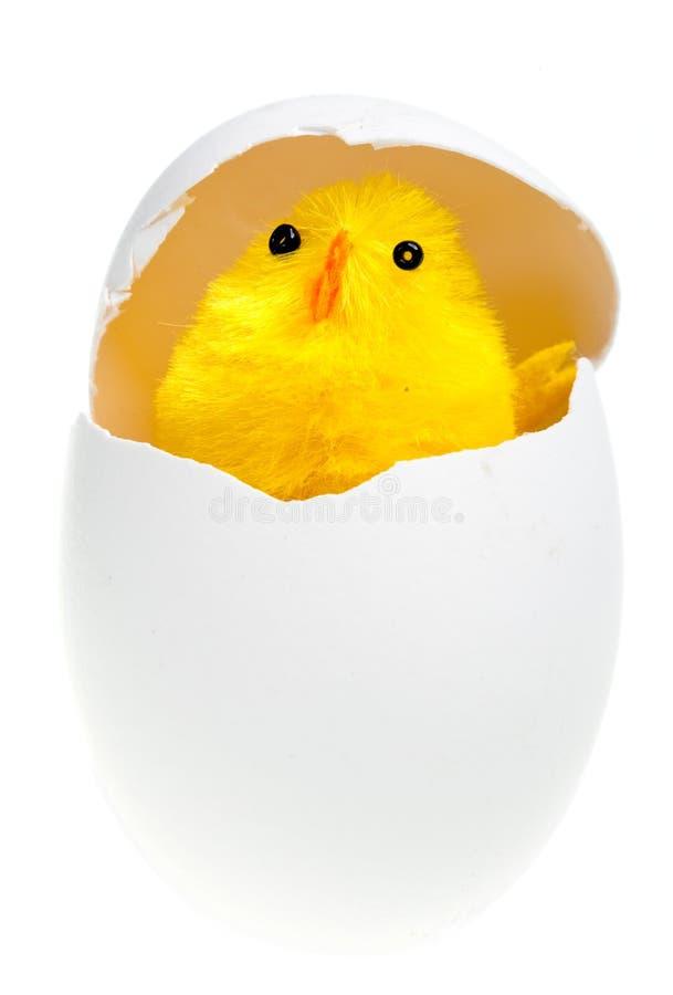 Pollo appena nato nelle coperture dell'uovo immagini stock