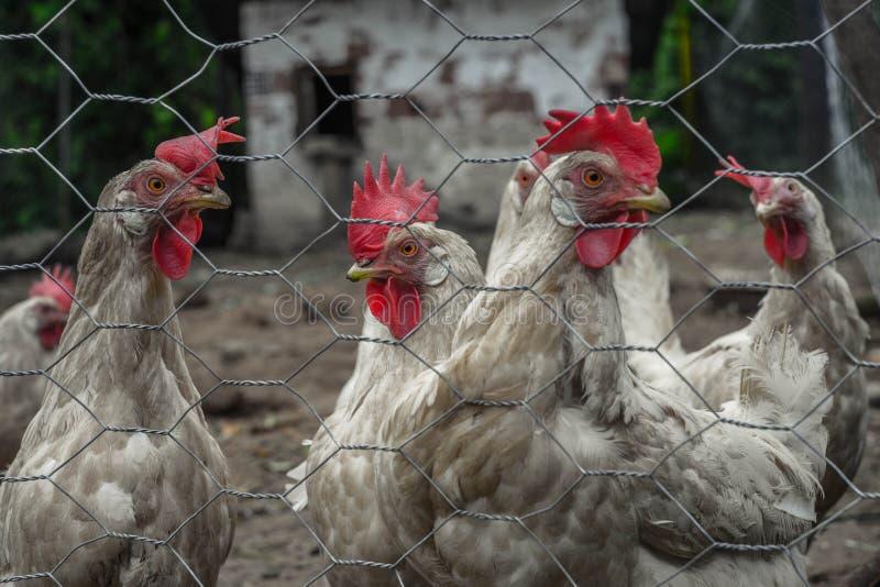 Pollo arrabbiato quattro fotografia stock