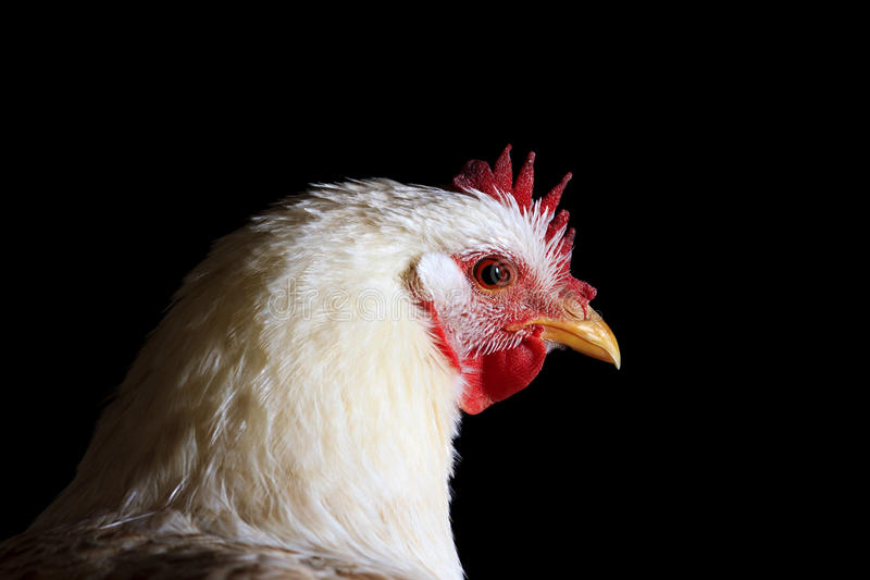 Pollo blanco en un retrato negro del fondo fotografía de archivo