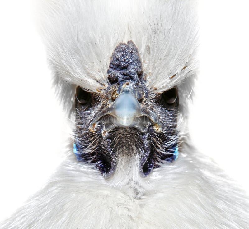 Pollo blanco enojado imagen de archivo libre de regalías