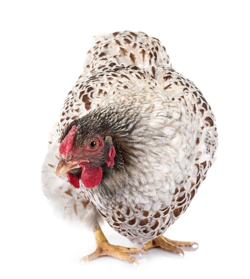 pollo Blu-merlettato di Wyandotte in studio immagine stock