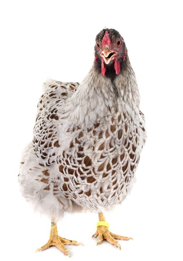 pollo Blu-merlettato di Wyandotte in studio fotografia stock