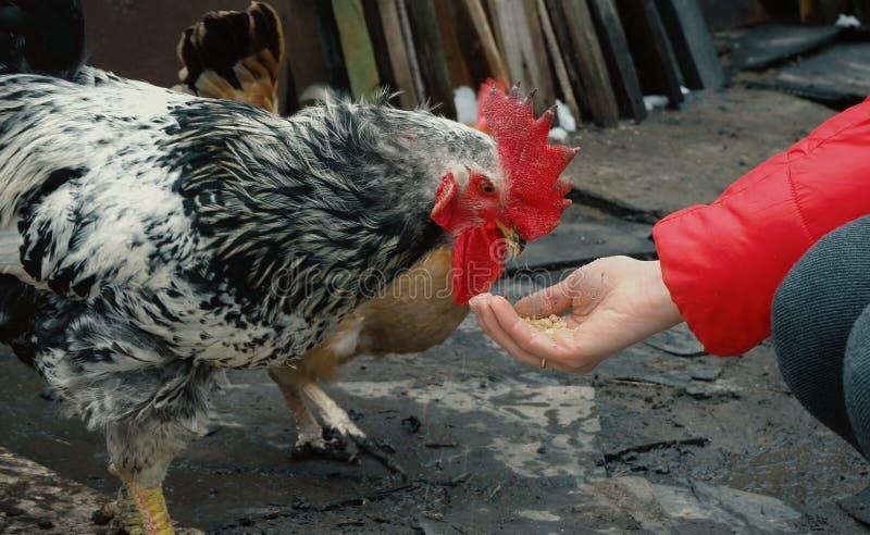 Pollo che si alimenta dalla palma della donna fotografia stock libera da diritti