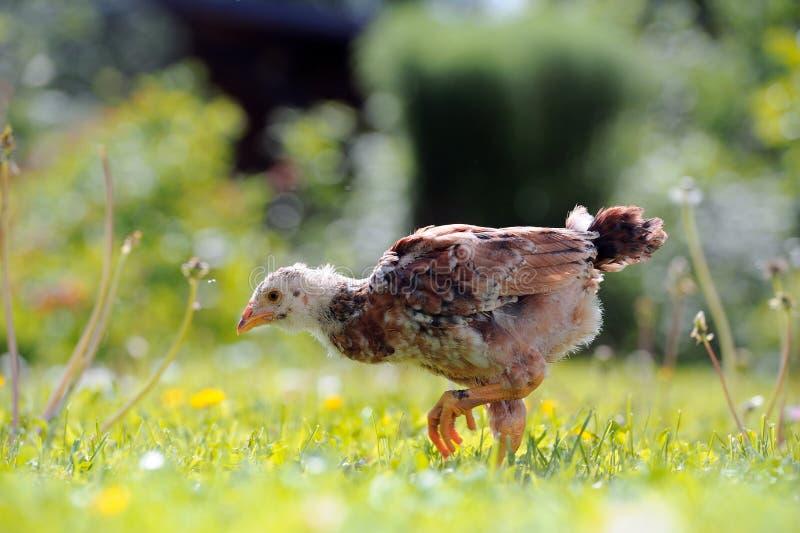 Pollo chiazzato che cammina sul prato inglese verde immagine stock