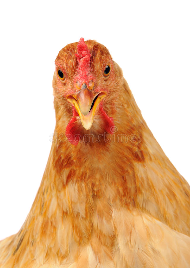 Pollo con il becco aperto su fondo bianco fotografia stock libera da diritti