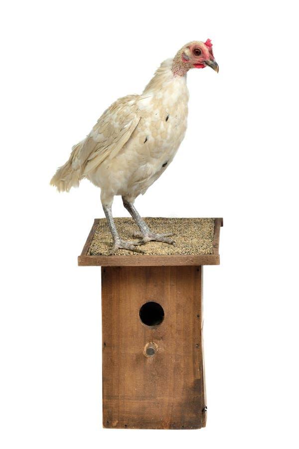 Pollo con la casa starling fotos de archivo