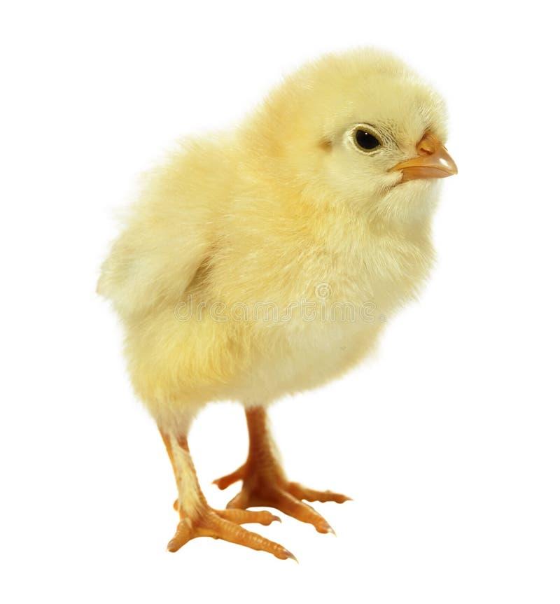 Pollo contro priorità bassa bianca immagine stock
