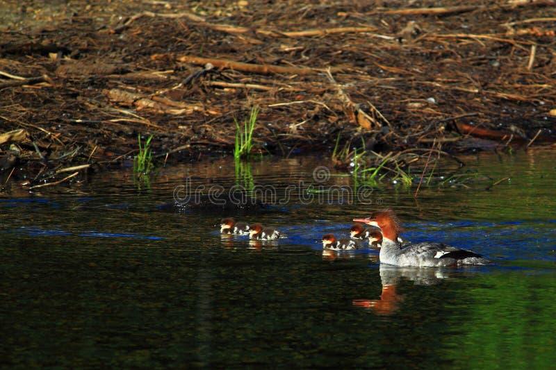 Download Pollo De Agua Común En Humedal Imagen de archivo - Imagen de anadón, natación: 41911361