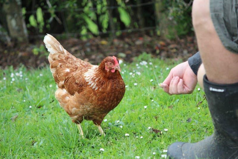 Pollo de alimentación imagen de archivo libre de regalías