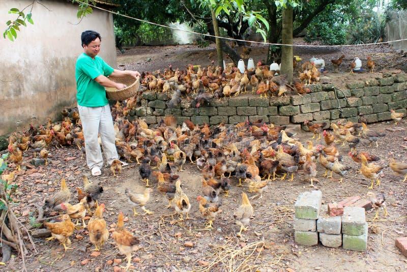 Pollo de alimentación del granjero vietnamita por el arroz fotos de archivo