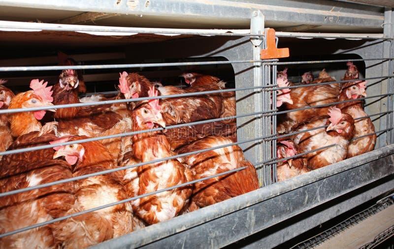 Pollo de la colocación de huevo en jaula en granja imagen de archivo