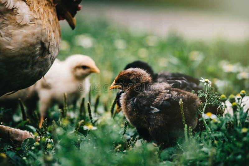 Pollo de la mamá con su polluelo del bebé que alimenta con la materia orgánica en local imágenes de archivo libres de regalías