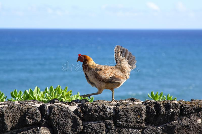 Pollo de libre itinerancia imagen de archivo libre de regalías
