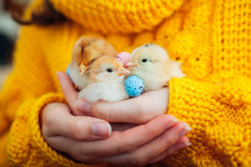 Pollo de Pascua Mujer que sostiene tres polluelos anaranjados a disposición rodeados con los huevos de Pascua imagen de archivo libre de regalías