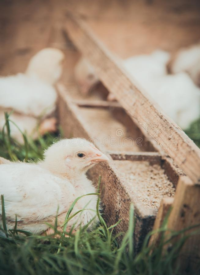 Pollo del bambino fotografia stock libera da diritti