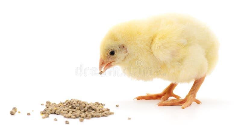 Pollo del bambino che ha un pasto fotografia stock