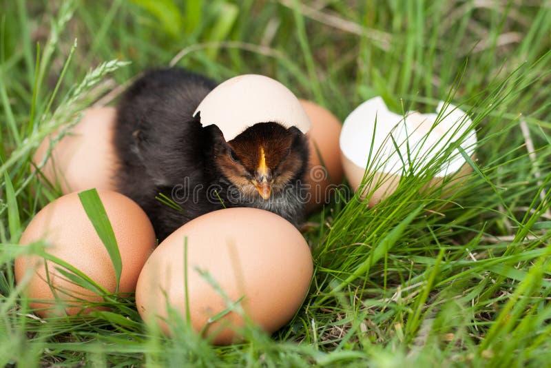 Pollo del bebé con la cáscara de huevo quebrada y huevos en la hierba verde foto de archivo