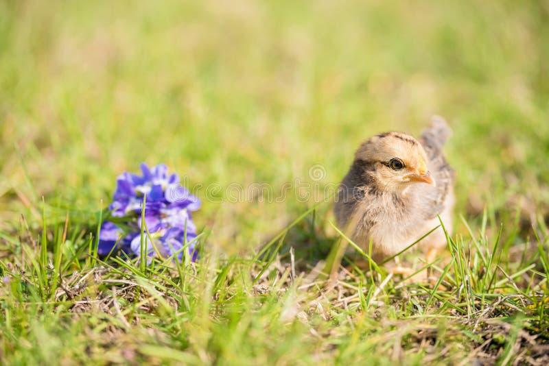 Pollo del bebé en hierba verde foto de archivo