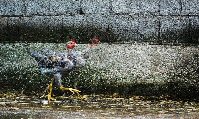 Pollo del fugitivo fotografía de archivo libre de regalías