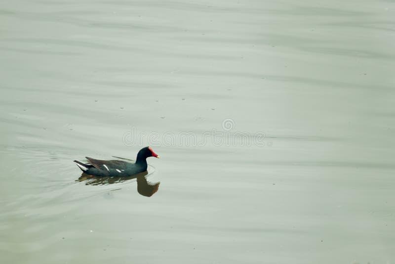 Pollo del pantano que continúa fotografía de archivo