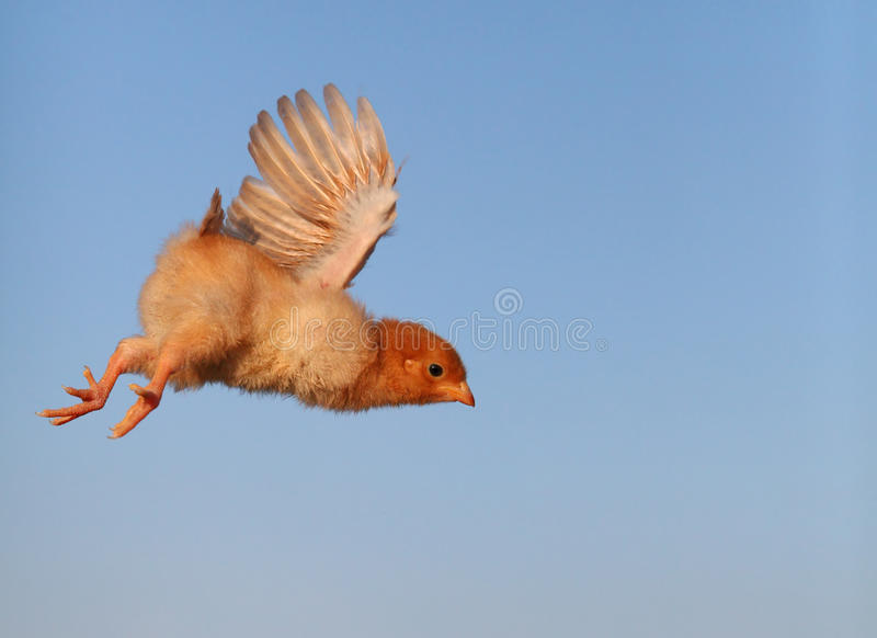 Pollo del vuelo fotos de archivo