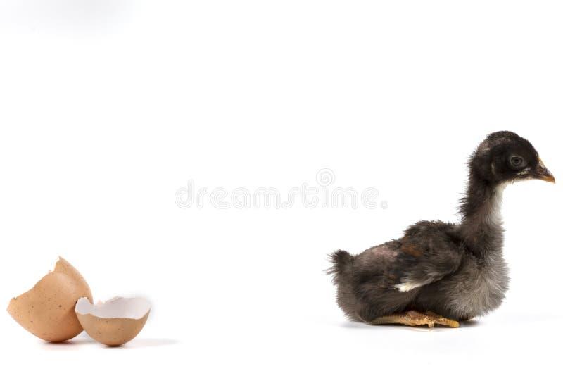Pollo di seduta fotografia stock