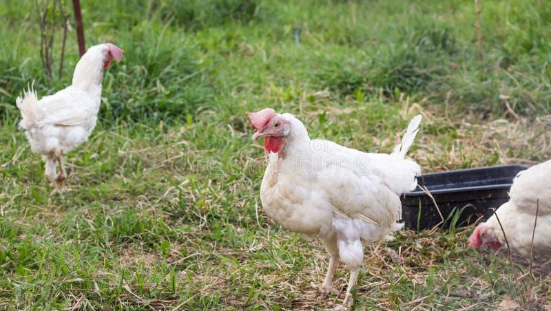 Pollo divertido de los adultos blancos que camina en la yarda fotografía de archivo