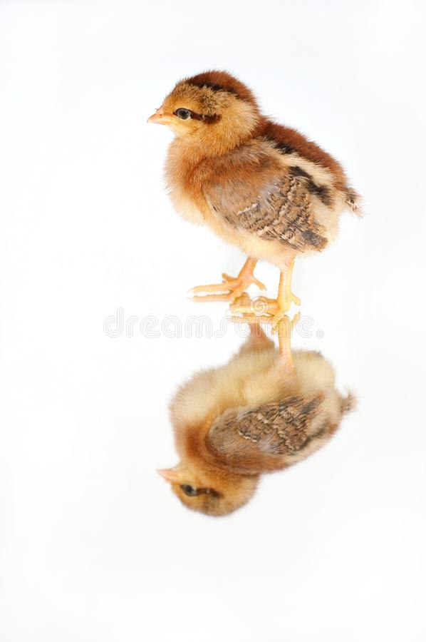 Pollo en el espejo imágenes de archivo libres de regalías