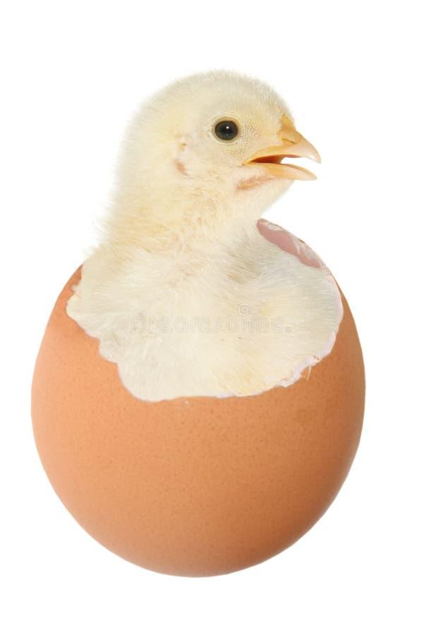 Pollo en huevo fotografía de archivo