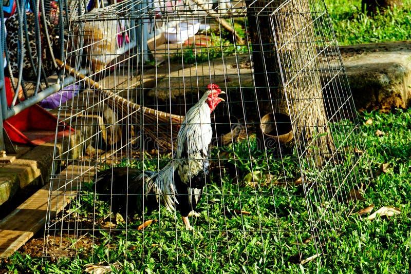 Pollo en jaula fotos de archivo