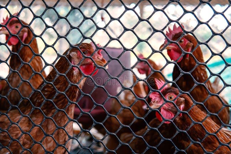 Pollo en la jaula fotos de archivo libres de regalías
