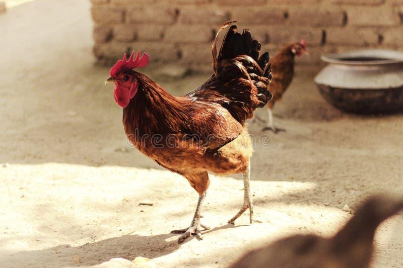 Pollo en un hogar del pueblo foto de archivo libre de regalías