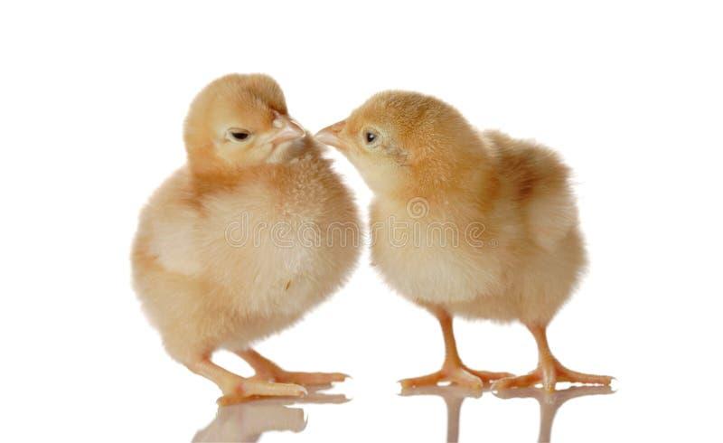 Pollo lanuginoso del bambino due fotografie stock libere da diritti