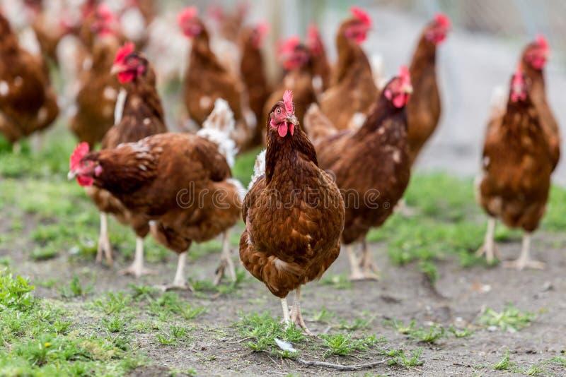 Pollo libero dell'intervallo fotografie stock