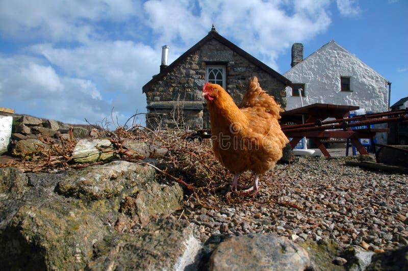 Pollo libero dell'intervallo immagini stock libere da diritti