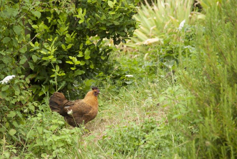 Pollo libero della gamma nei cespugli immagini stock libere da diritti