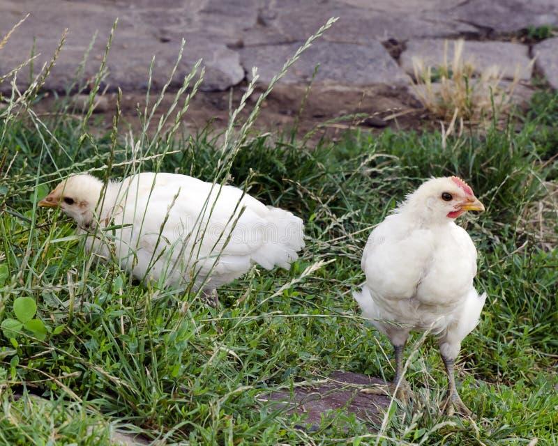 Pollo libre del rango foto de archivo