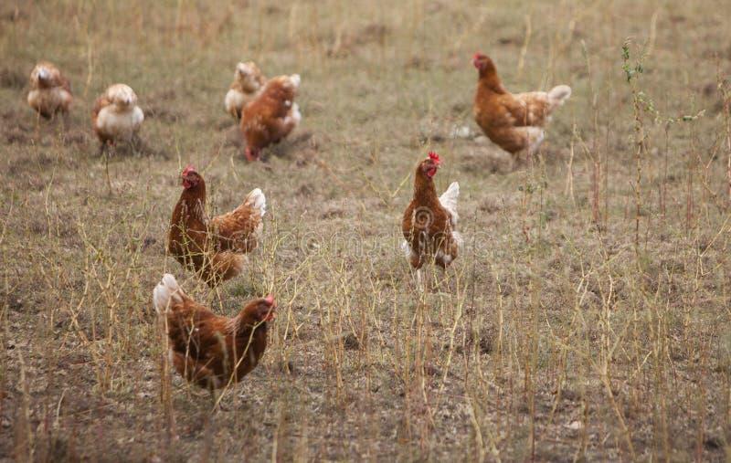Pollo marrón de itinerancia libre en granja holandesa en los Países Bajos imagen de archivo