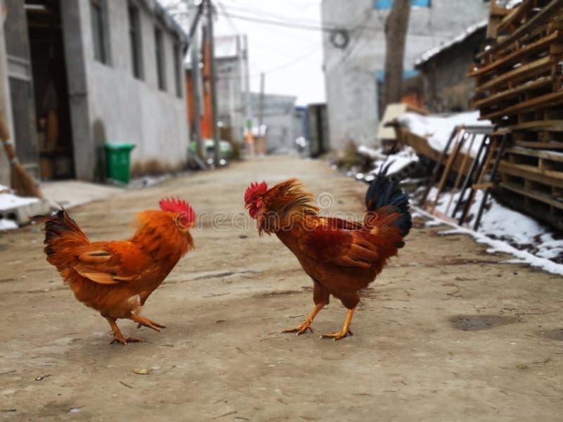 Pollo masculino que es preparado para luchar fotos de archivo