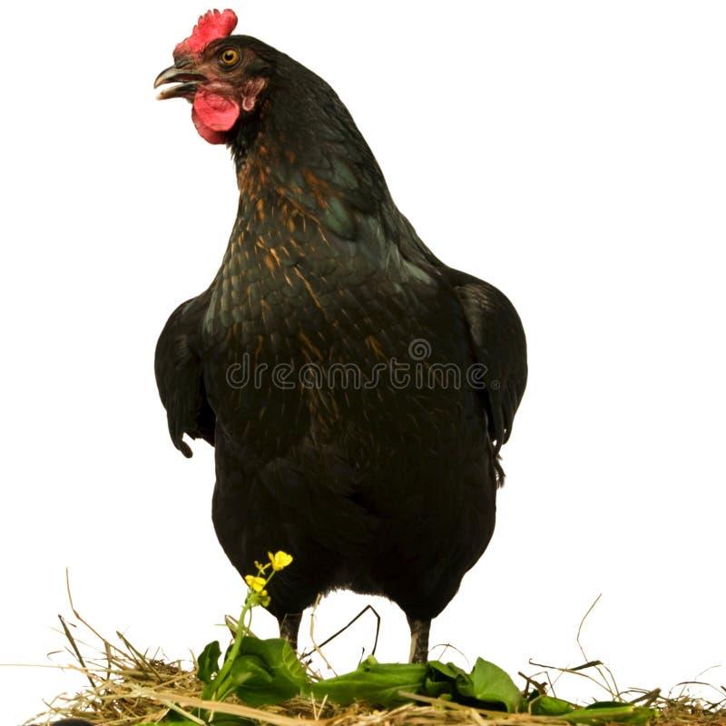 Pollo nero immagine stock