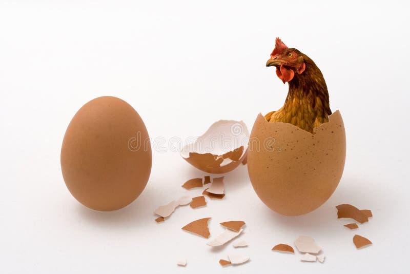 Pollo o uovo fotografia stock