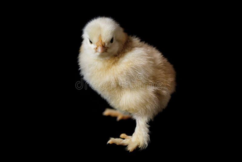 Pollo que finales que son fondo negro llevado fotografía de archivo