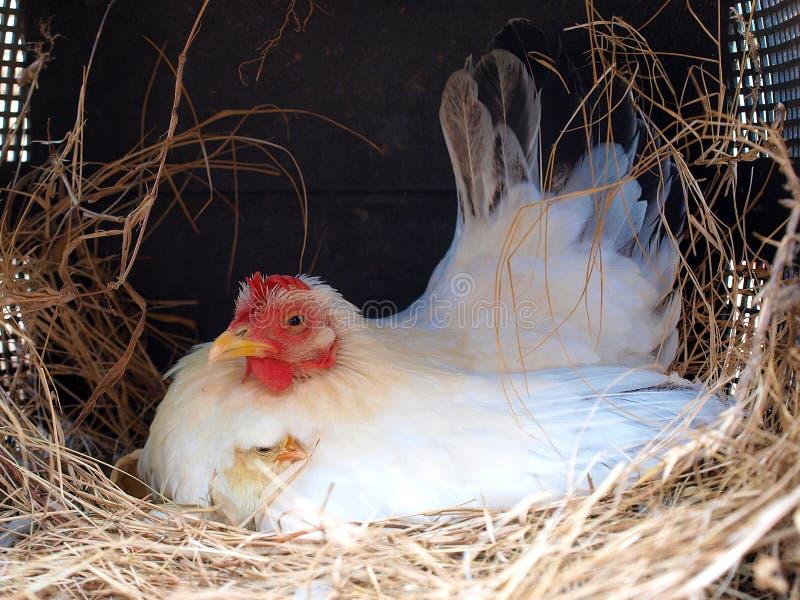 Pollo recién nacido cómodamente en mamá foto de archivo libre de regalías