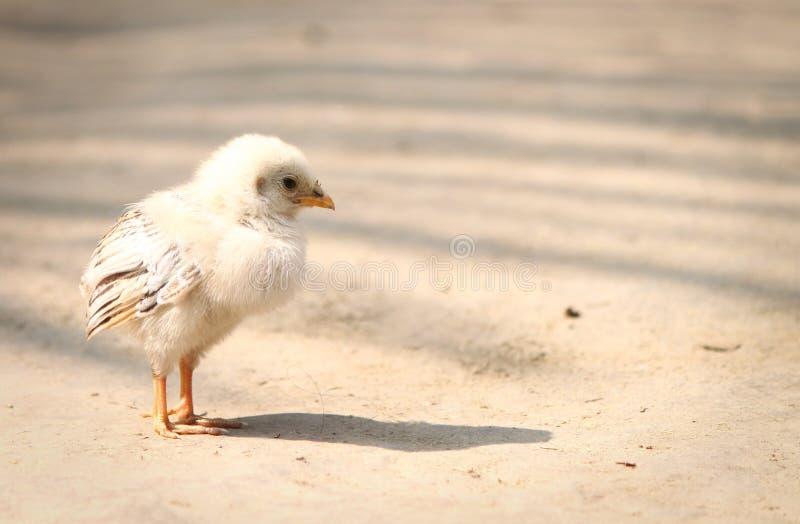 Pollo recién nacido en las aves de corral que alzan la granja fotografía de archivo libre de regalías