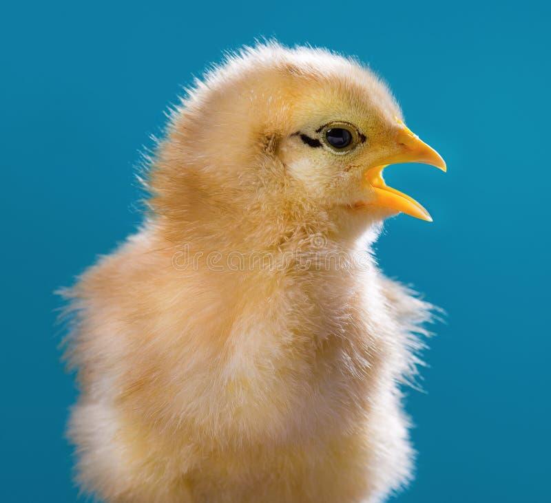 Pollo recién nacido lindo imagenes de archivo