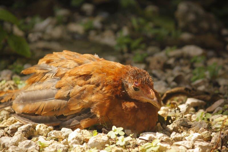 Pollo selvaggio ferito fotografie stock libere da diritti