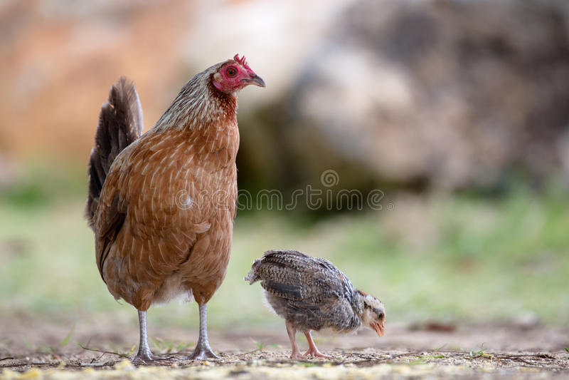 Pollo su Kauai immagine stock libera da diritti